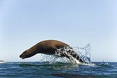 California Sea Lion surfing back to shore in a large swell