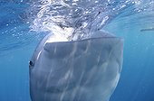 Whaleshark gulps down water - West Papua