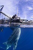 Whaleshark swims below a bagan fishing boat - West Papua