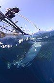 Whaleshark swims below a bagan fishing boat - West Papua ; Fishermen feed and watch a whaleshark