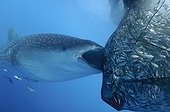 Whaleshark sucks on the net of a bagan fishing boat - Papua ; below a bagan fishing boat