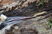 Pic épeiche extirpant une larve dans du bois mort - France
