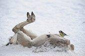 Mésange charbonnière sur une carcasse d'ongulé en hiver ; se nourrissant de la graisse