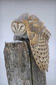 Barn owl on a pole in winter - Lorraine France