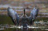 Bean Goose stretching on woodland pool  - Joensuu Finland