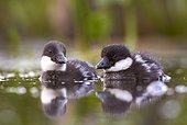 Goldeneye ducklings on water - Polvijärvi Finland