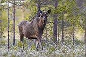 European Moose posing on wetland - Joensuu Finland