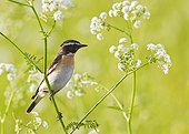 Whinchat male perched on stem - Joensuu Finland
