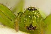 Green Huntsman Spider lurking in a rose - Provence France