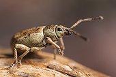 Weevil - France
