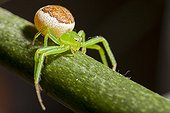 Crab spider on a rod - France