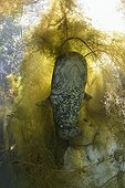 Wels Catfish in the river Hérault - France