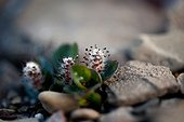 Arctic willow flowers in stones - Spitsbergen