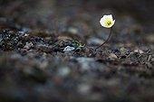 Svalbard Poppy flowers - Spitsbergen Svalbard