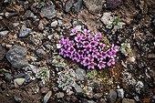 Purple Saxifrage flowers - Spitsbergen Svalbard