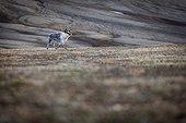 Svalbard reindeer in the tundra - Spitsbergen Svalbard