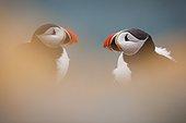 Portrait of Atlantic puffins - Spitsbergen Svalbard