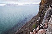 Guillemots Brunnich on cliff Diabas - Spitsbergen