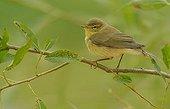 Willow Warbler on a branch - Belgium