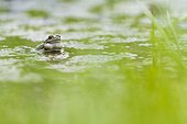 Male Euopean frog and laying in a forest pond - France