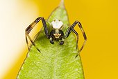 Male Goldenrod Spider on the lookout on a leaf - France