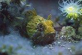 Tassled Scorpionfish in aquarium - Brittany France