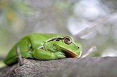 Southern Tree Frog near a pond - France