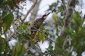 West Indian Woodpecker on a branch - Zapata peninsula Cuba