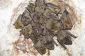 Cuban fig-eating bats on rock - Cuba