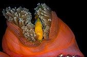 Otangefin Anemonefish in Sea Anemone - French Polynesia