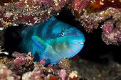 Globehead parrotfish in reef - Tahiti  French Polynesia