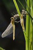Emergence of Dragonfly - Prairie Fouzon France