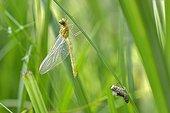 Molt after emergence Dragonfly - Prairie Fouzon France