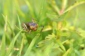 Dragonfly larvae before emergence-Prairie Fouzon France