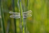 Dragonfly after emergence - Prairie Fouzon France
