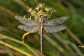 Yellow-legged Clubtail  - Prairie Fouzon France