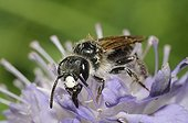 Male Solitary bee on Scabiosa flower - Vosges France