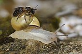 Solitary Bee on Snail - Vosges France ; bee basking in the sun after 3 days of rain thinking climb on a stone