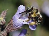 Female Anthophora Bee on Sage flower - Vosges France