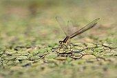 Female Elegant Damselfly on duckweed - France