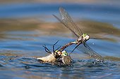 Lesser Emperor mating in water - Verdon France  ; projected into the water by another male mating wishing