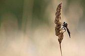 Common Awl Robberfly on an ear - France