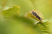 Common Awl Robberfly on a leaf - France