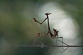 Conehead mantis larva on stem - France