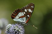 Southern White Admiral on a flower - Vosges France