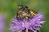 European Beewolf capturing a honeybee - Vosges France
