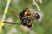Asian predatory hornet biting a Honeybee - France