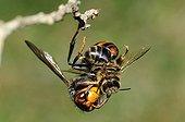 Asian predatory hornet eating a Honeybee - France