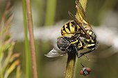 Common wasp decapitating a Fly - Vosges France