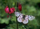 Apollo on Purple Turk's Cap Lily - Sixt  Fer-à-Cheval Alpes